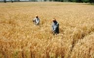 213 lakhs tonnes of wheat produceed