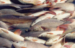 formalin in Andhra Fish