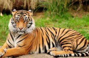 Wildlife experts review the movement of Tigress Sundari in the Satkosia Sanctuary