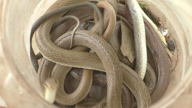 Mother Cobra and 13 hatchlings rescued from a house in Manapur Village of Jajpur District